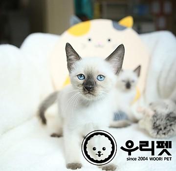 고양이계의 여왕 샴고양이분양 합니다^^ [ 천호동고양이분양 ]