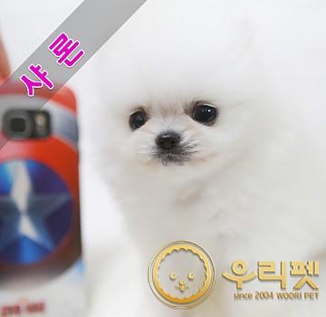오리지널 챔피온 혈통 화이트포메